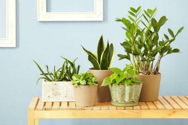 Đặt cây cảnh trong nhà giúp không gian xanh tươi hơn